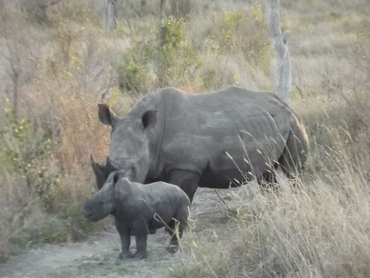 www.sunsafaris.com recent sightings of a #baby rhino and #mother #rhino at #umkumbe #safari #lodge #africa #kruger #sabi #sands #game #reserve   Copyright: images taken by Zeena Ponto