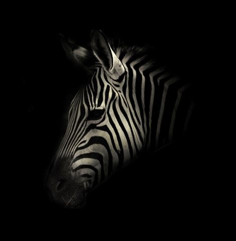 A zebra.  Dark side of the zoo - captive animals in black and white  Alex Teuscher photographs captive animals in black and white, producing dark, atmospheric portraits
