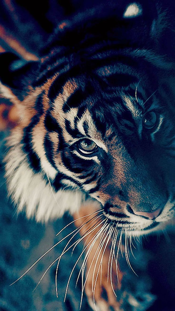 Tiger Hd Wallpapers Tiger Pictures Free Download P Hd Download
