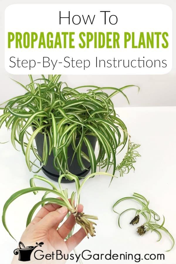 How To Propagate Spider Plants Step-By-Step in 2020   Spider plants, Plants, Spider plant ...