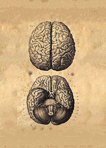 Vintage anatomía Cerebro Humano c1776 por Albrecht von Haller 250 ...