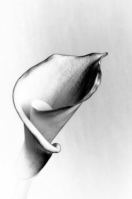 Close up Black and white of a Beautiful Calla Lily Art Prints by Linda Matlow - Shop Canvas and Framed Wall Art Prints at Imagekind.com