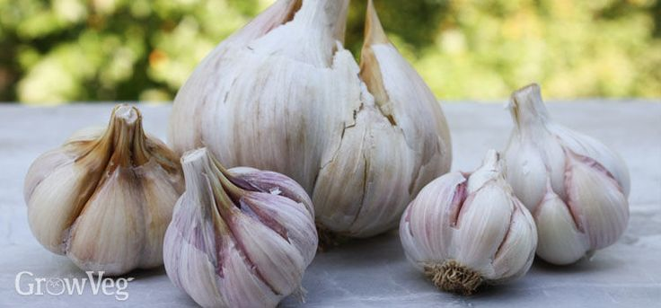 Fall is the best time to plant all types of garlic