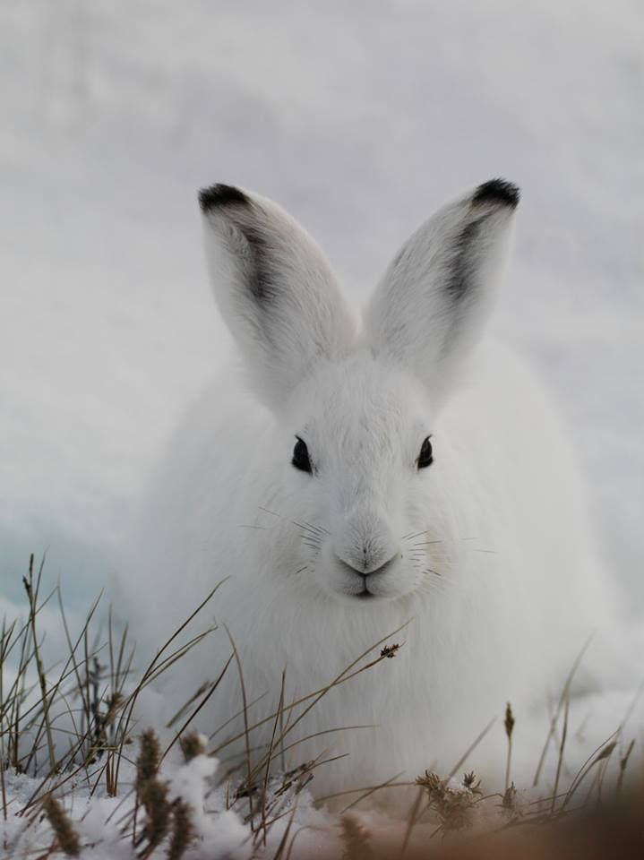 ARCTIC HARE....found in the northern regions of the Arctic Circle, predominantly in Northern America, Europe, Greenland and the North Pole....length of 19 - 26 inches and a weight of 9 - 12 pounds....changes colors from white to a blue-grey colour in the summer