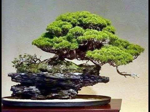 Amazing   bonsai    trees   and   beautiful   gardens  2018