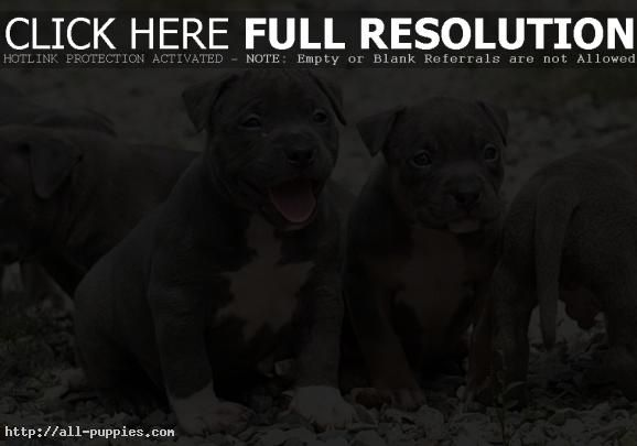 Pin On Dog Pit Bull Terrier Mix