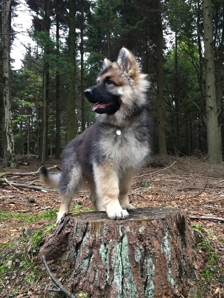 Majestic Vonthurlow German Shepherd hunter puppy