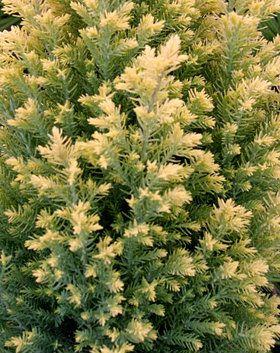 Chamaecyparis lawsoniana ' Treasure Island ' Mini Lawsons Cypress