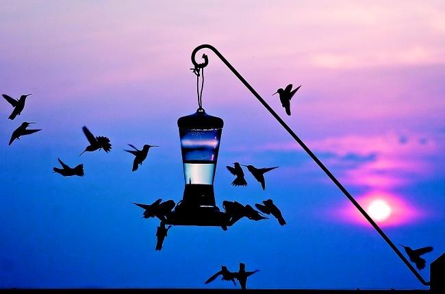 Hummingbirds at twilight, by Julie Hodder