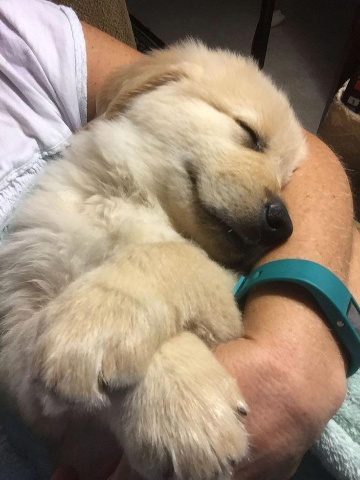Sleeping Golden Retriever Puppy Bestdogbreeds