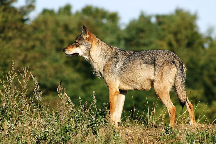 Wolves and Rivers: How One Species Can Transform an Ecosystem (VIDEO)