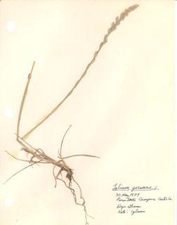 A faj kettős latin neve:Lolium perenne Magyar név:angolperje Család:Poaceae  Rend:Poales Életforma:H  Termés:szem