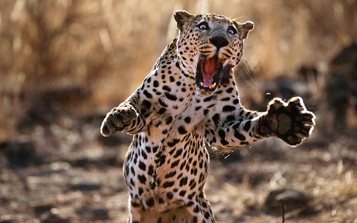 Golleee!  Wildlife photographer Steve Bloom captured this image of a leopard leaping in Namibia. His dramatic images, taken over a period of ten years, have now been compiled to form a new children's book entitled My Big Cats Journal (Thames & Hudson).