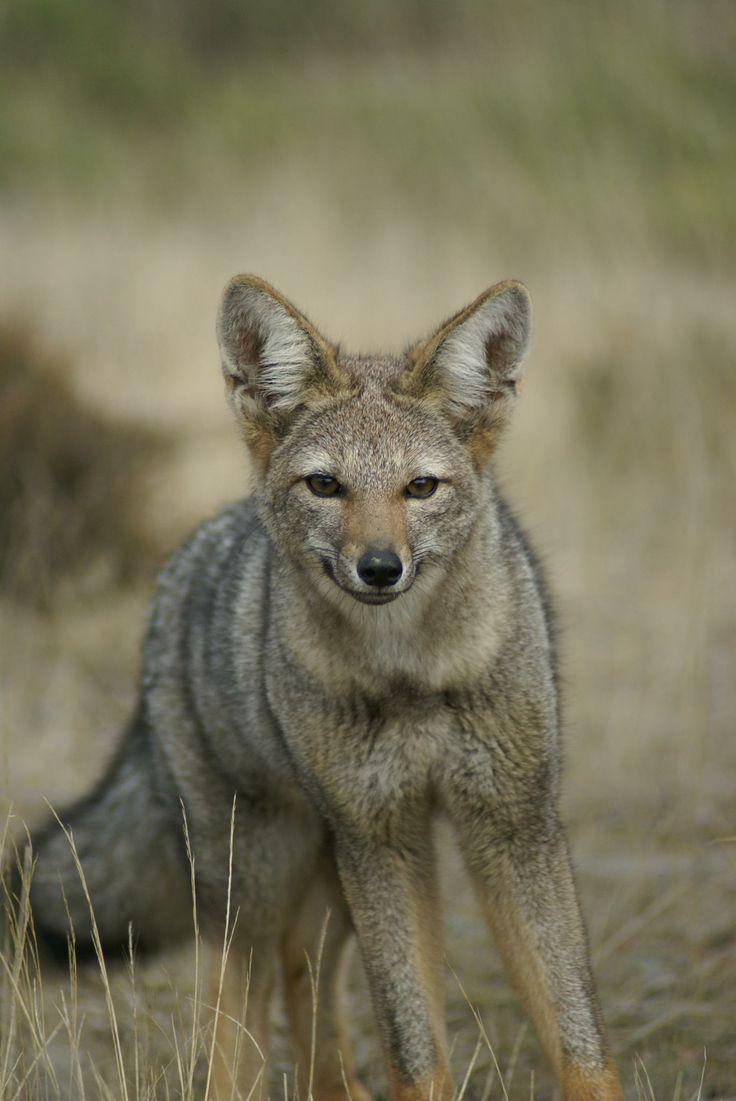 pampas fox, patagonia