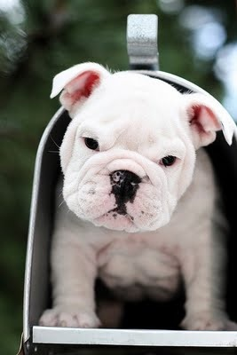 aw,sweet little face: Bulldogs Puppies, Englishbulldog, English Bulldogs, You'V Got Mail, Mailboxes, Music Books, Mail Boxes, Special Delivery, Snails Mail