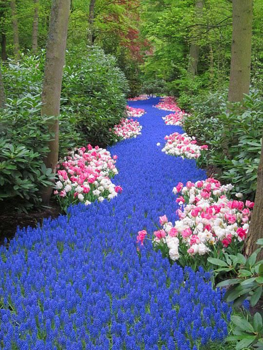 "Another amazing example of that color scheme, but this ""River"" of grape hyacinths from Pinterest is a show stopper! It wouldn't be the same without the pink and white tulips. They visually slow you down, and add a little punch, but don't take away from the mass of blue!"