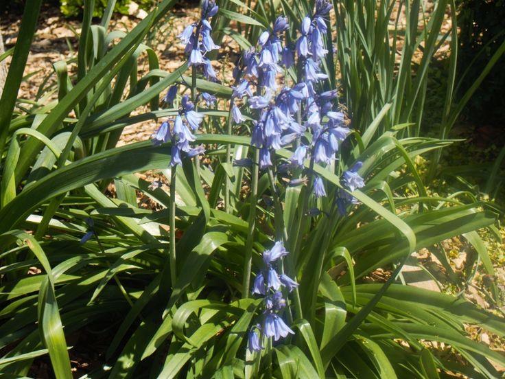 Blue Bells, Laurel Bank Park