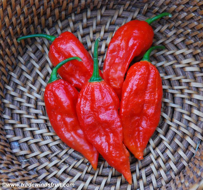 "Bhut Jolokia Pepper - ""Ghost Pepper"" Capsicum chinense"