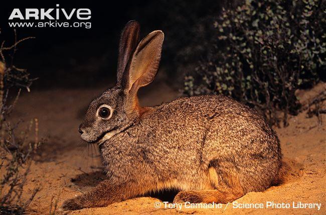 Riverine rabbit -critically endangered