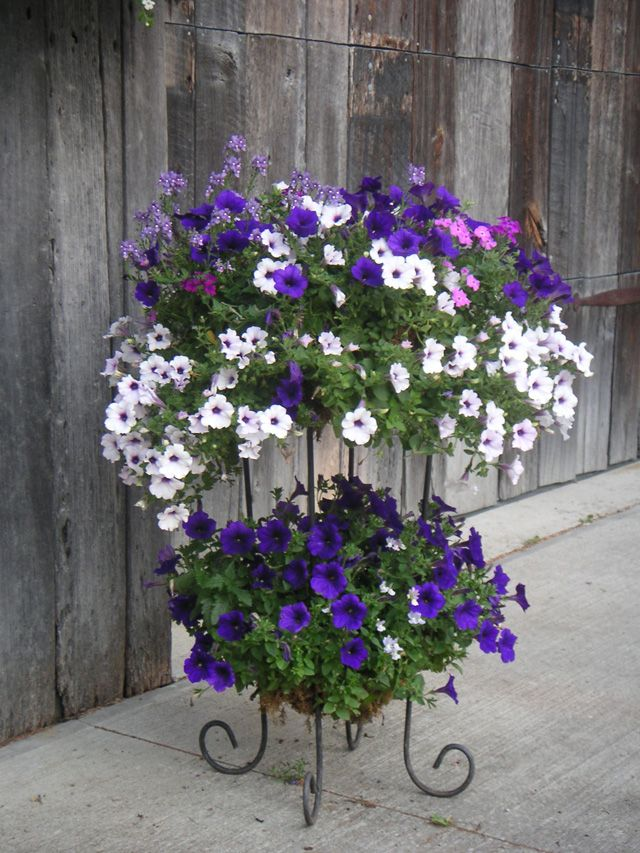 Purple and White Petunias. Why can't mine ever look like this? I can't grow Petunias. What am I doing wrong???