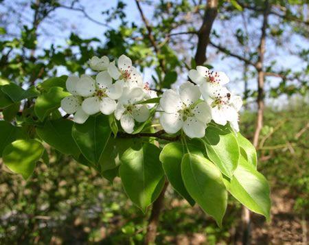 Blog για τον Κήπο - αχλάδια