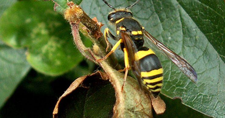 """Identificação de vespas . As vespas fazem parte da mesma ordem que as abelhas e formigas, chamada de Hymenoptera, que significa """"asa transparente"""". Qualquer inseto que faça parte dessa ordem e não seja uma abelha ou formiga, é uma vespa; existem diversos tipos de vespas e, muitas vezes, são confundidas com abelhas. As duas maiores categorias em que as vespas são divididas ..."""