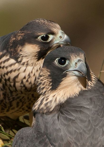 Peregrine Falcons by Danny Vokinsiow