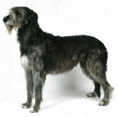 Zachary look-alike.  That dog loved to run!: Dogue De, Gentle Giant, Breeds Dogs, Cutest Dogs, Irish Wolfhounds, Dreams Dogs, Black Bears, Friends Giant, Irish Wolfhound Jpg