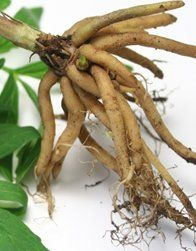 valerian root health benefits for you