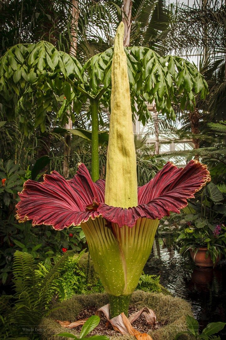 Titan Arum Corpse Flower On Bloom At The New York Botanical Garden June 2018 Nature Plant