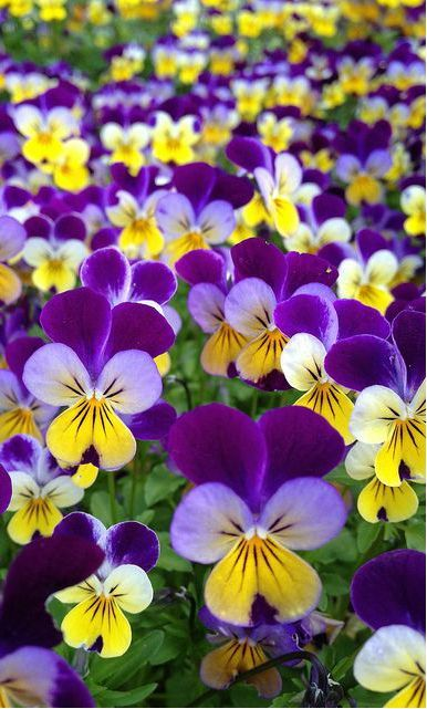 cool ~~Viola, Johnny Jump-Up | tricolored in bright purple, yellow and white, delicat...