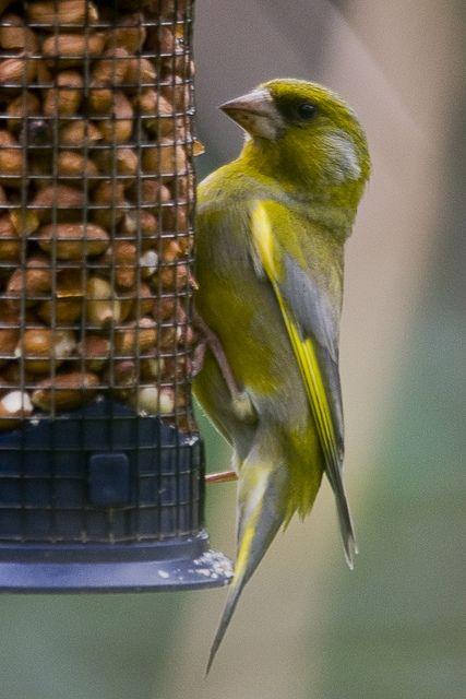 Green Finch Always competing with the gold finches for sunflower seeds