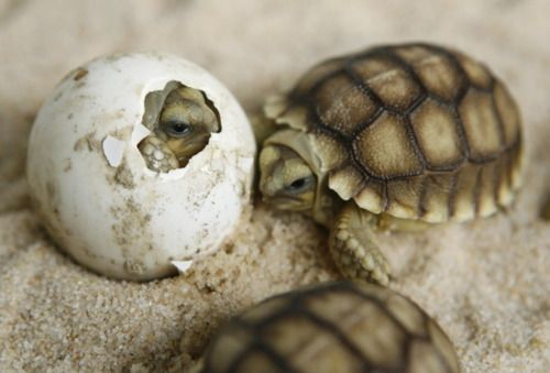 baby turtles - ok this is gonna be a horrible question, stop reading now if u r squeamish, but how would a turtle egg taste? Or an alligator egg, or a snake egg? Try it and let me know, I'm not that brave, just curious.