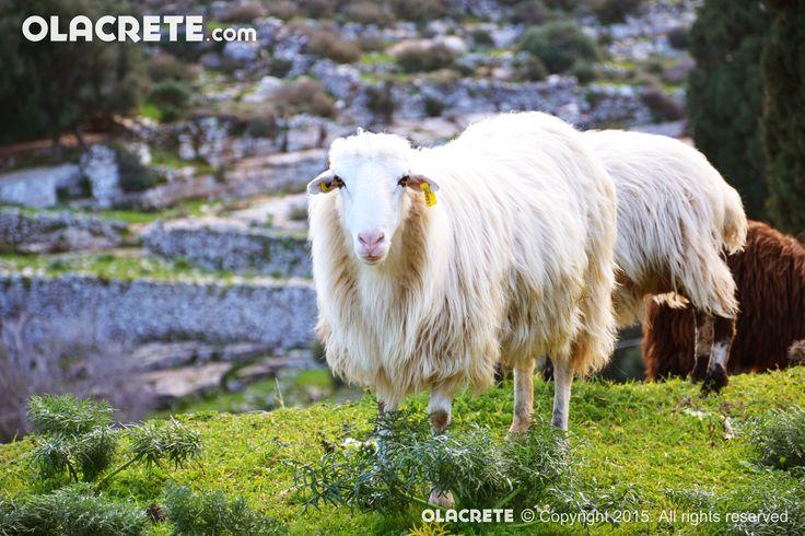 Creta Sheep