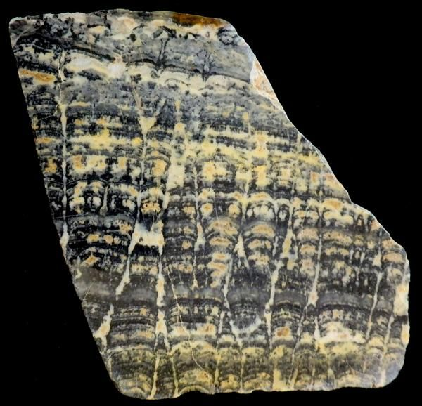 "ASP113.   Fossil stromatolite slab polished on one side. Asperia ashburtonia from the Proterozoic ""Duck Creek Dolomite"".   Age is approx. 2 billion years. From"