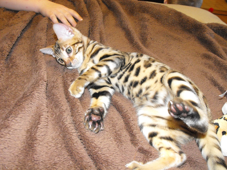 BENGALS! The Bengal is an exoticlooking domestic breed of