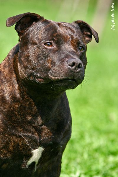 Pensive Staffy!  #staffie #dogs
