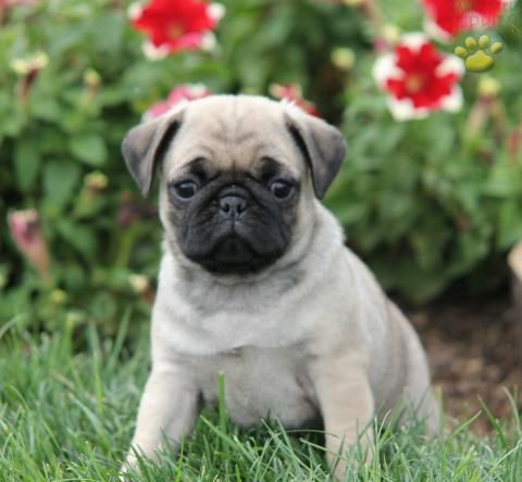 Download Pug Canine Adorable Dog - 37be836ccbe6f9185e9c504efc0ce67f--cute-pug-puppies-pug-dogs  Snapshot_621746  .jpg