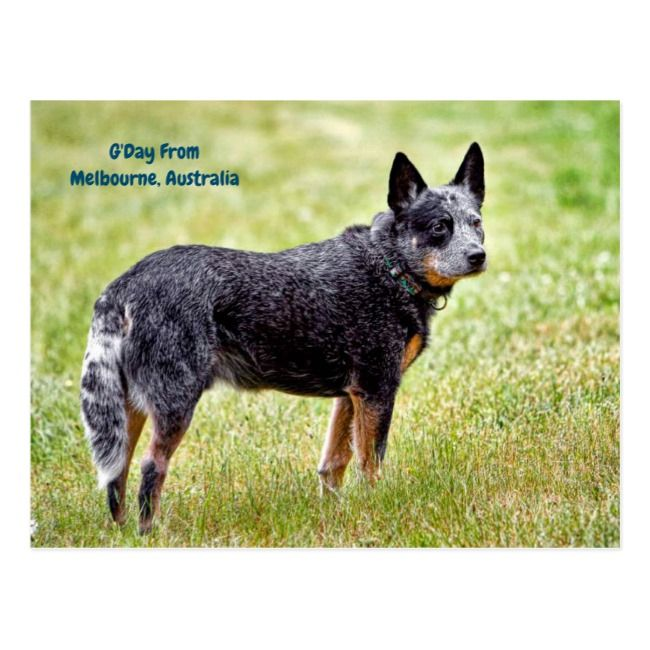 Blue Heeler Dog Postcard Zazzle Com Australian Cattle Dog