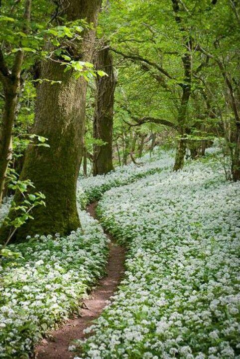 Footpath through the Wild Garlic - Milton Wood, Somerset, UK.