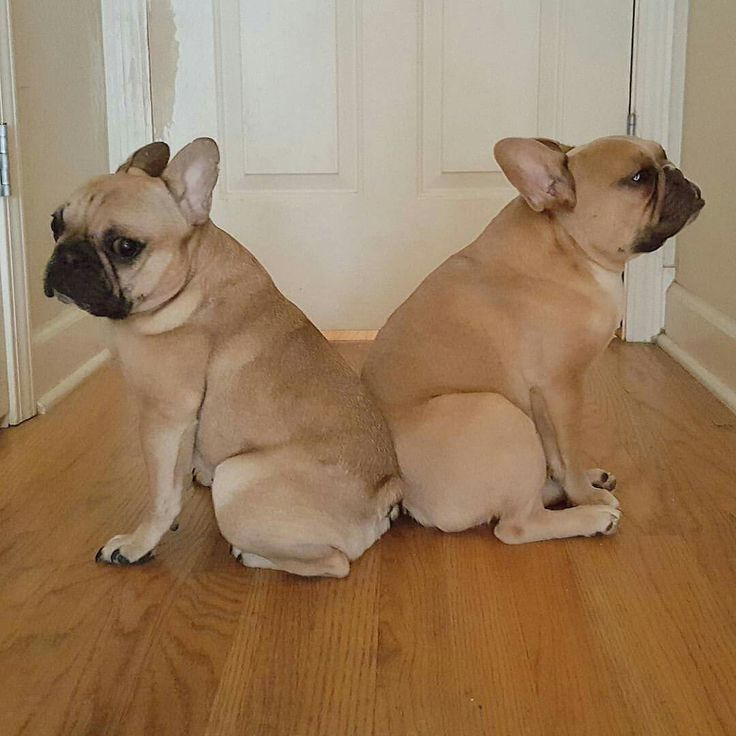 """""""None Shall Pass"""", French Bulldog Security"""