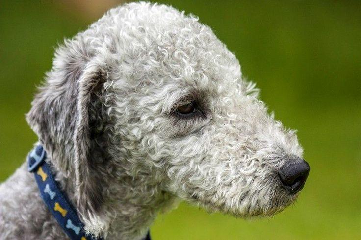 Бедлингтон-терьер (фото): собака в овечьей шкуре Смотри больше http://kot-pes.com/bedlington-terer-foto/