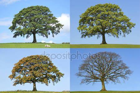 Letöltés - Tölgyfa-négy évszak — Stock Kép #2085649