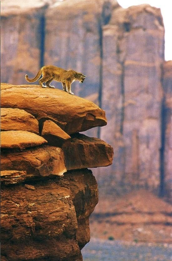 Stunning scene of a Mountain Lion on a ..... mountain.