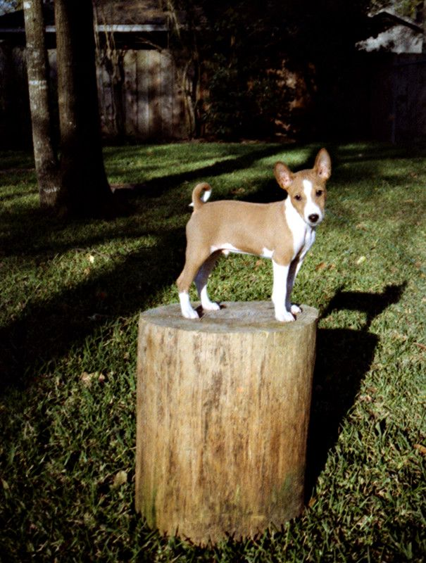 Basenji Puppy by ~0Encrypted0 on deviantART