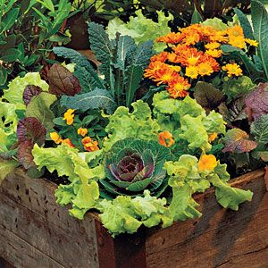 79 Creative Container Gardens | Lettuce, Violas & Mums | SouthernLiving.comModern Gardens, Gardens Ideas, Gardens Boxes, Growing Lettuce, Container Gardens, Edible Garden, Vegetables Gardens, Flower Pots, Hanging Flower Baskets