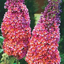 Bicolor butterfly bush. I so want one of these bushes. They get quite tall so they are good privacy bushes. $10