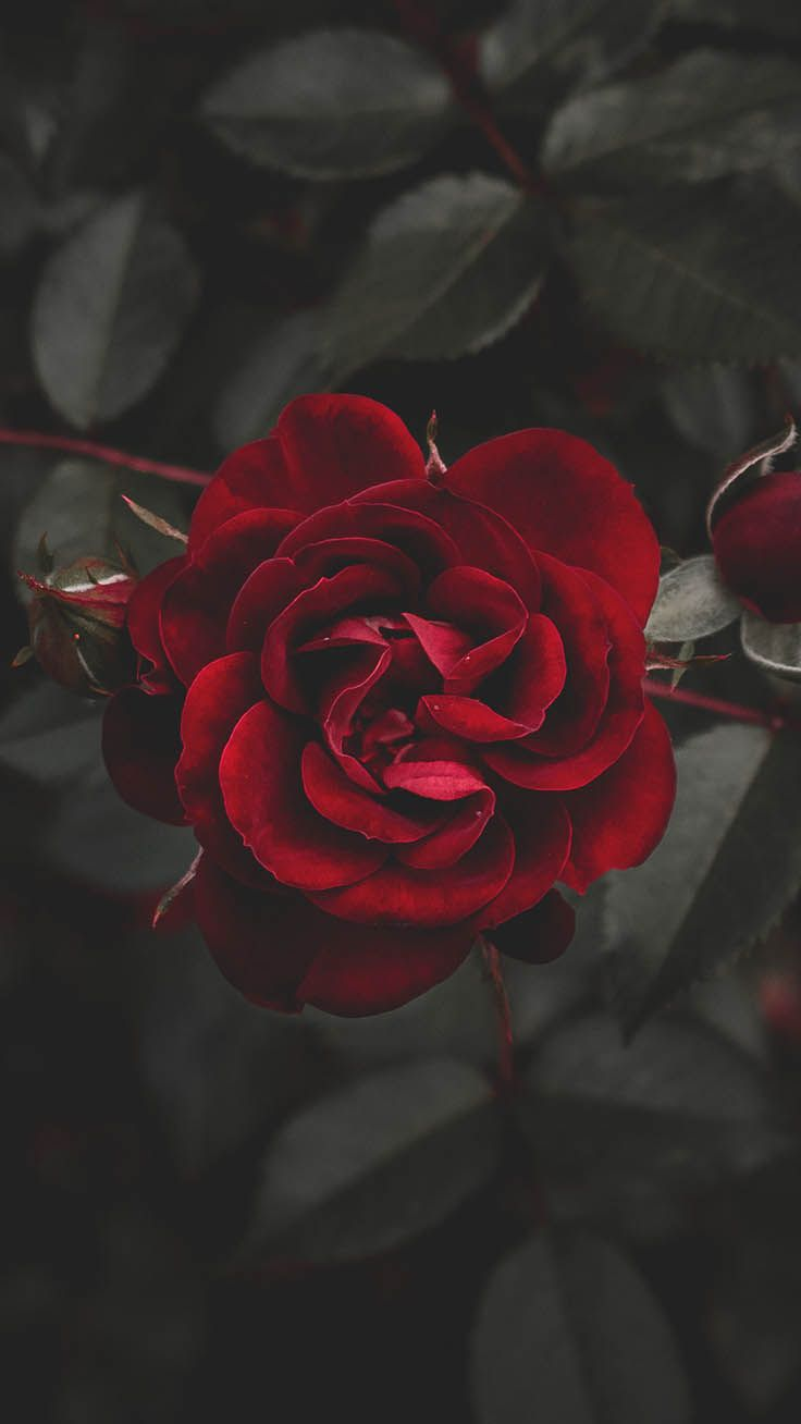 29 Romantic Roses iPhone X Wallpapers Rose flower