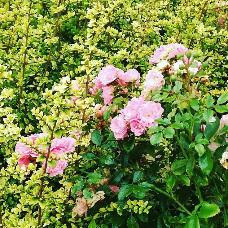 Różyczkowy zagajnik.  #lato #kwiaty #dianapozytywnie