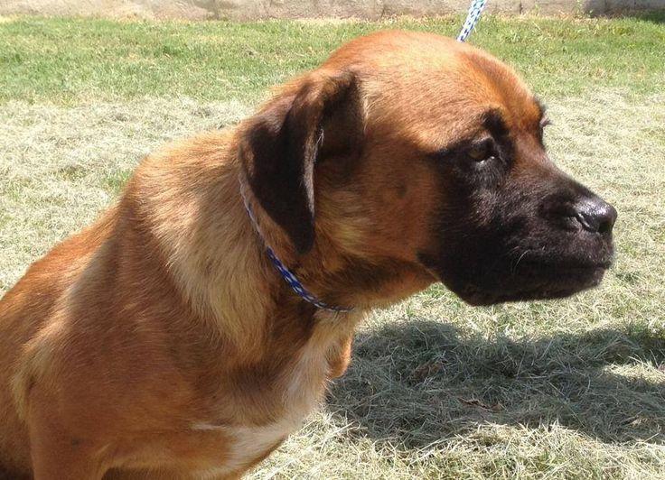 25 Best Ideas About Boxer Mastiff Mix On Pinterest